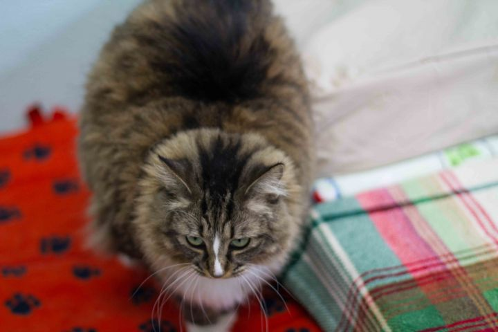 Zoey, an adopted Manx & Domestic Long Hair Mix in Long Beach, WA