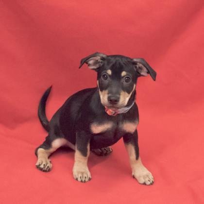 Dog for adoption - Sterling, a Terrier Mix in Elk Grove