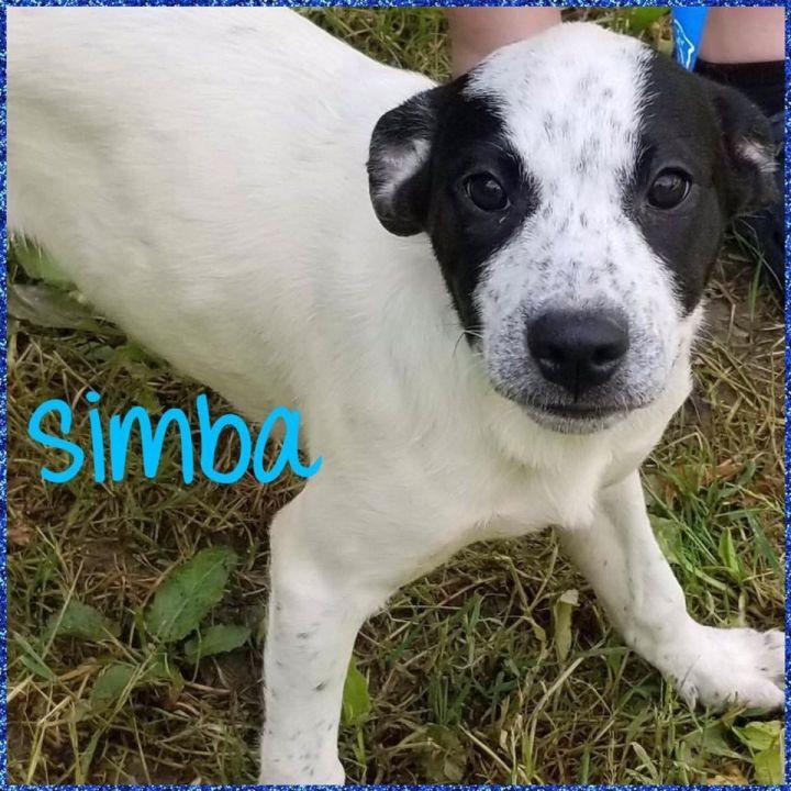Dog for adoption - Simba, a Husky & Australian Cattle Dog