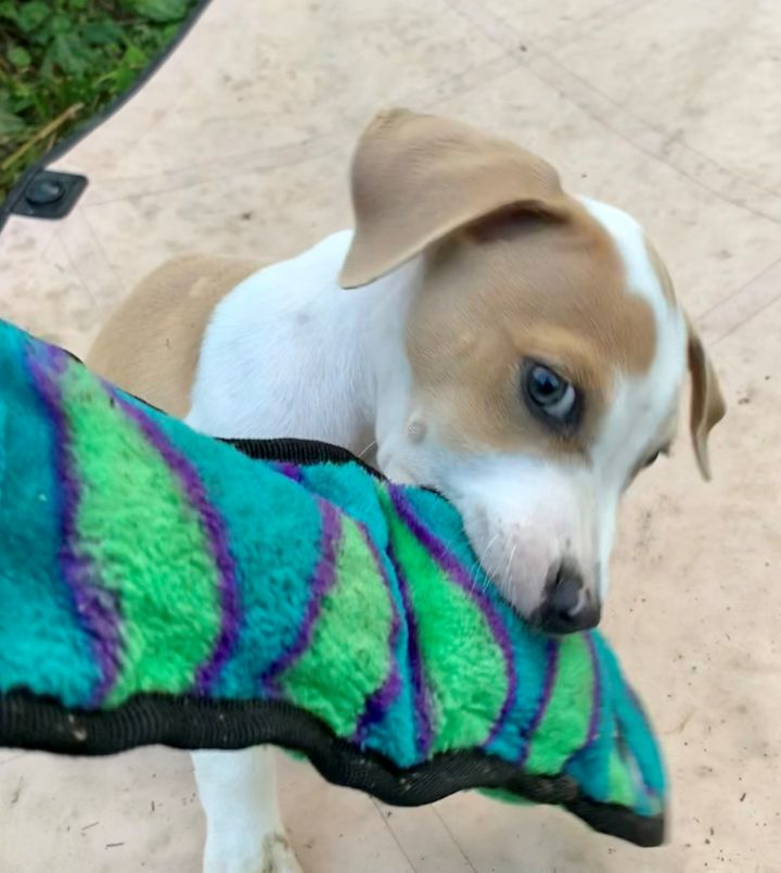 Dog for adoption - Jamison (adorable puppy!), a Hound Mix in Ithaca