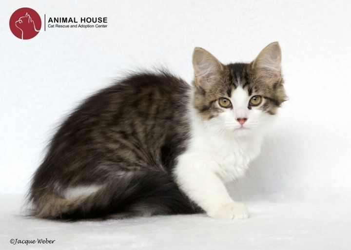 Sallyanne, an adoptable Domestic Long Hair in St. Louis, MO