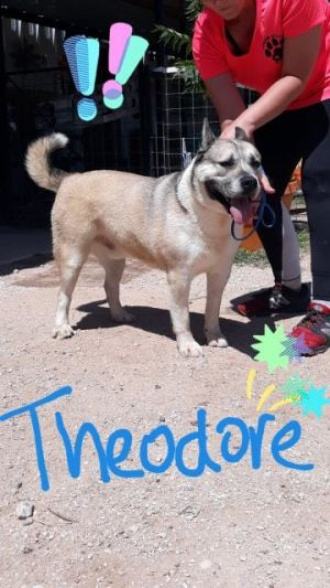 Dog for adoption - Theodore, an Akita Mix in Portland, OR