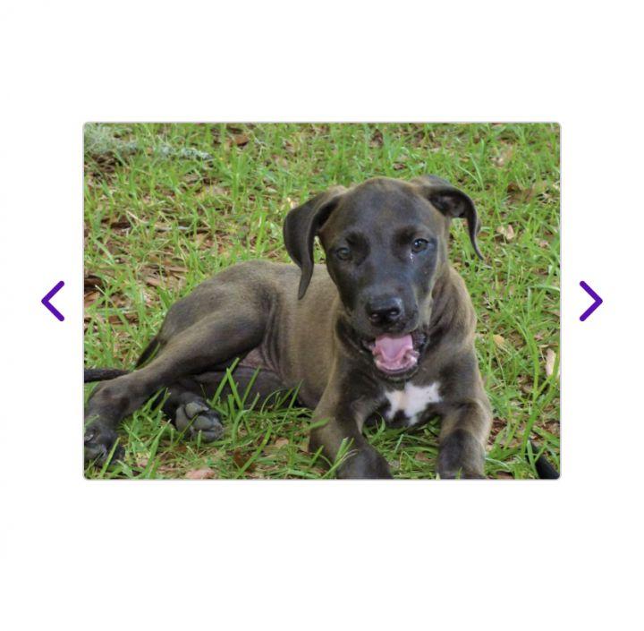Dog for adoption - Thelma, a Labrador Retriever & Treeing