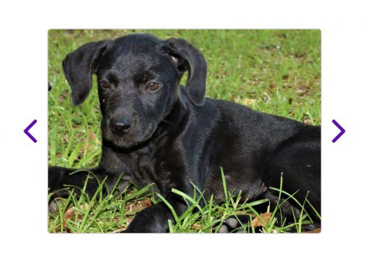 Dog for adoption - DELILAH, a Labrador Retriever & Treeing