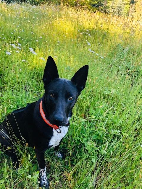 Dog for adoption - Anubis - Adoption Pending - Courtesy, a