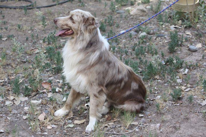 Dog for adoption - Rhett, an Australian Shepherd in