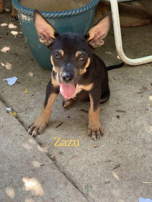 Dog for adoption - Zazu, a Shepherd & Pit Bull Terrier Mix