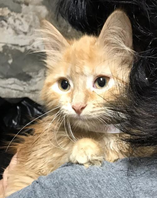 Nacho! Maine Coon Mix Rare Orange Female Kitten 1