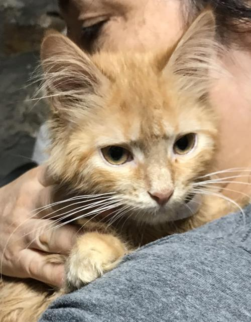 Nacho! Maine Coon Mix Rare Orange Female Kitten 3