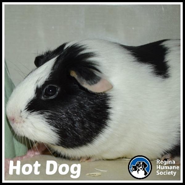 Guinea Pig for adoption - Hot Dog, a Guinea Pig Mix in