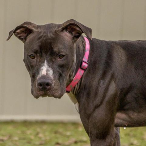 Dog for adoption - Winnie, a Black Labrador Retriever & Boxer Mix in