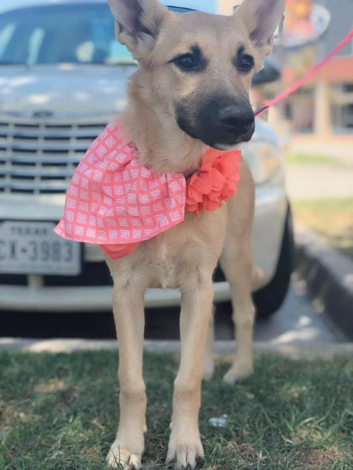 Summer, an adopted Shepherd Mix in Fort Worth, TX