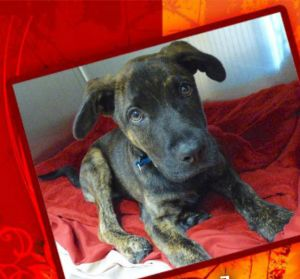 Dog for adoption - Hudson, a Plott Hound & Dutch Shepherd Mix in