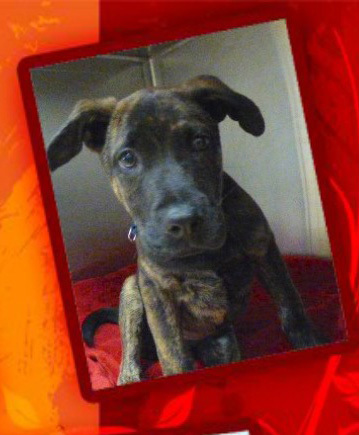 Dog for adoption - Hudson, a Plott Hound & Dutch Shepherd Mix in