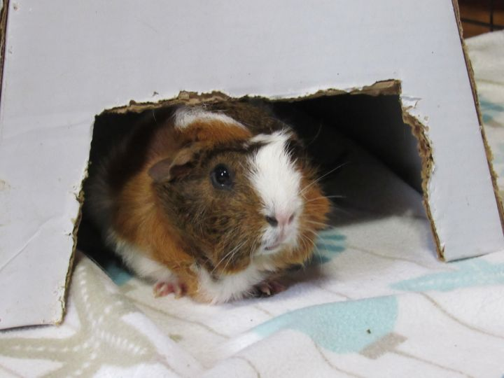 Bok, an adoptable Guinea Pig in Saint Paul, MN