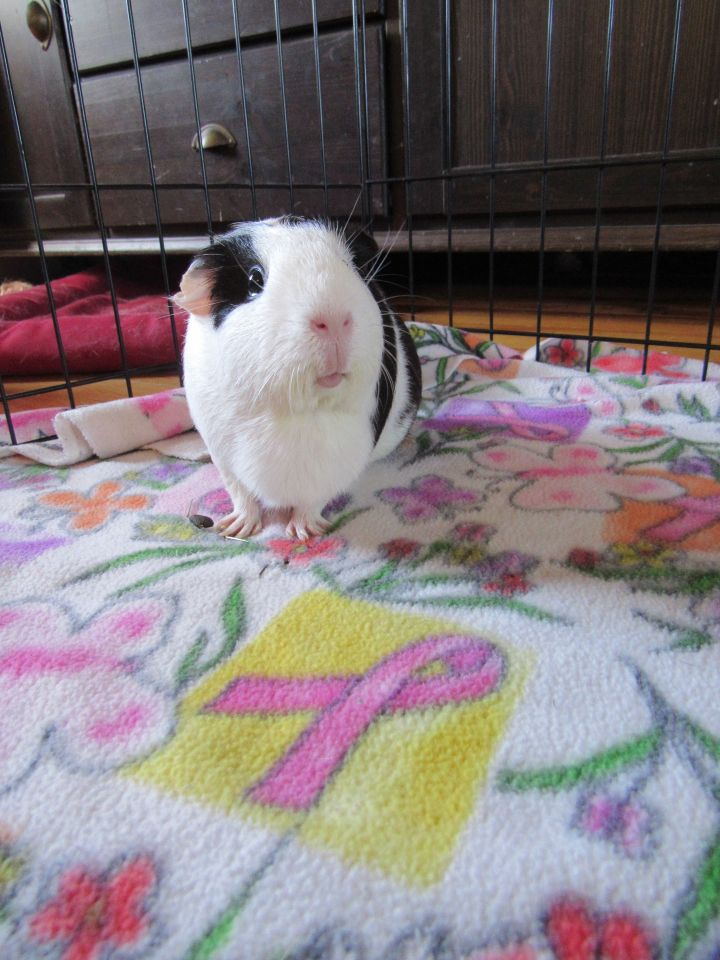 Choy, an adopted Guinea Pig in Saint Paul, MN