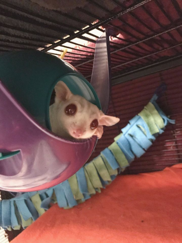 Burgundy, an adopted Sugar Glider in Saint Paul, MN