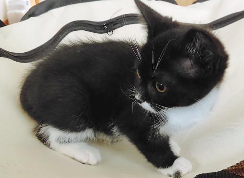 Jimijean, an adoptable Tuxedo & Domestic Short Hair Mix in Springfield, OR