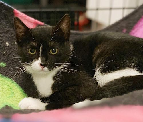 Whiteside, an adoptable Tuxedo & Domestic Short Hair Mix in Springfield, OR