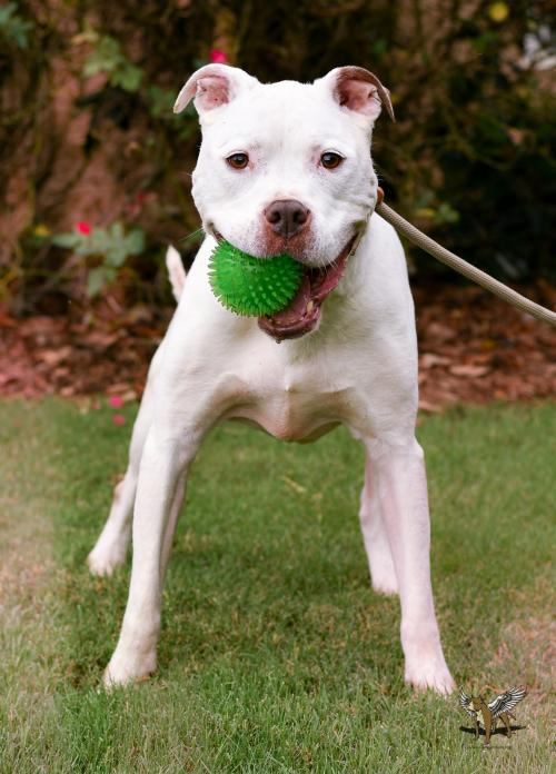 Ky, an adoptable Pit Bull Terrier in Dallas, GA