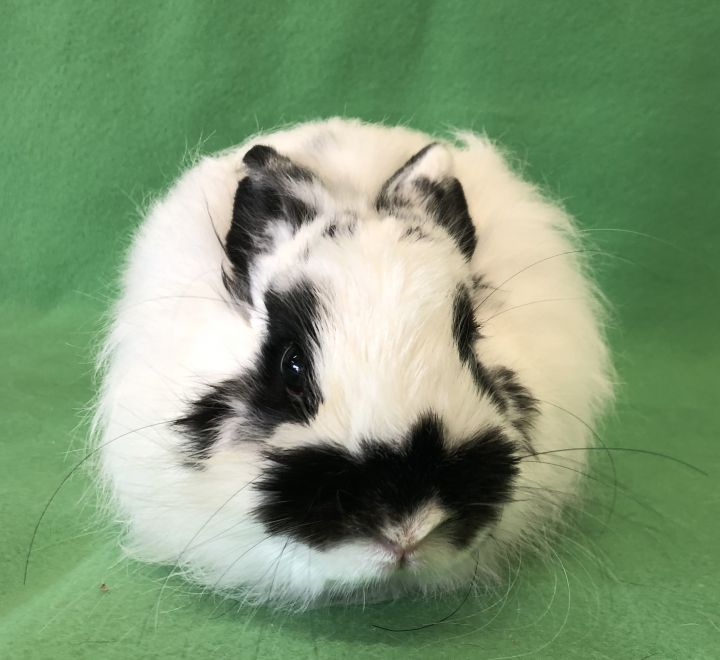 Rabbit For Adoption Sudoku A Jersey Wooly Mix In Watauga