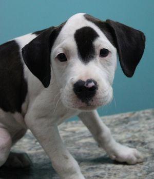 Dog for adoption - Phoebe, a Boxer & Labrador Retriever Mix in