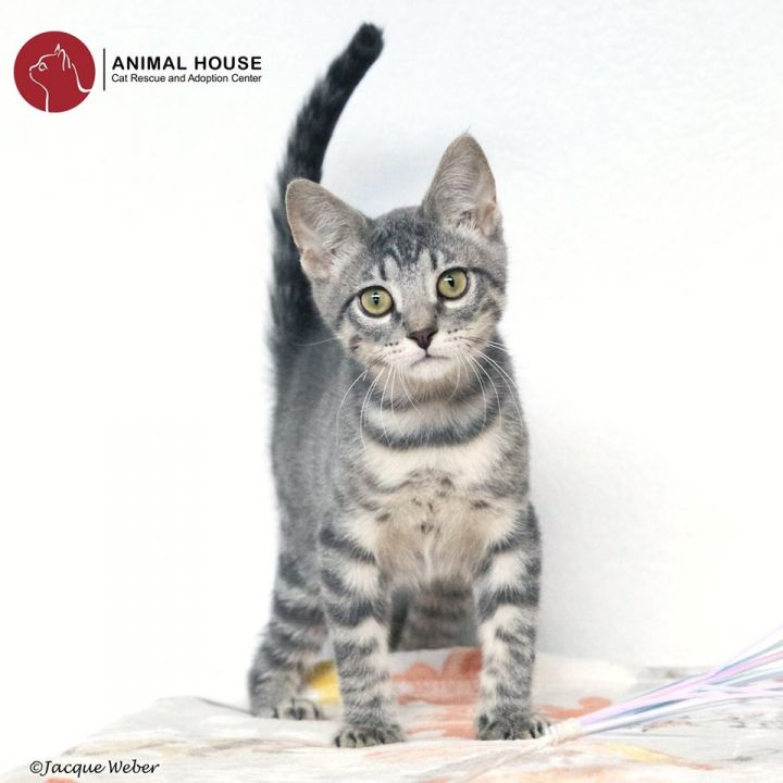 Pan, an adoptable Domestic Short Hair in St. Louis, MO
