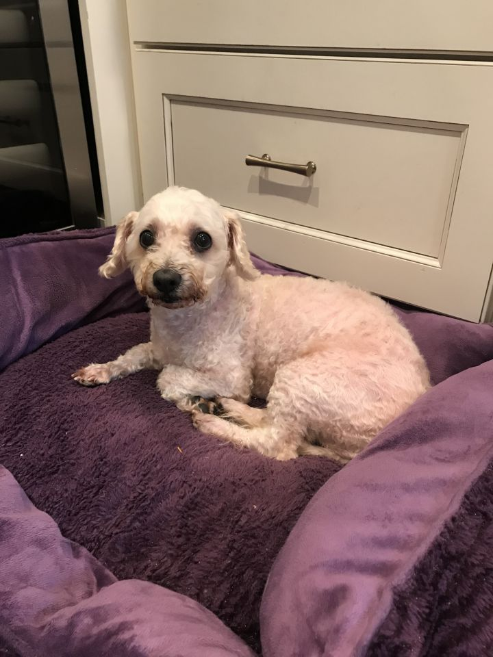 Dog for adoption - Lady Bella, a Maltese & Poodle Mix in