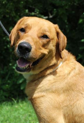 Dog for adoption - Izzy, a Labrador Retriever & Golden Retriever Mix