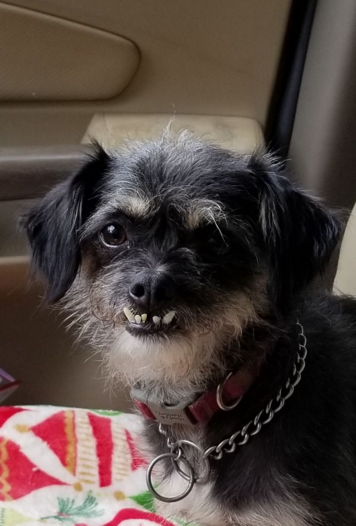 Dog for adoption - Gremmie, a Shih Tzu & Terrier Mix in Ladson, SC