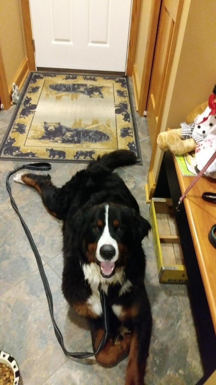 Dog For Adoption Bella Pending Adoption A Bernese
