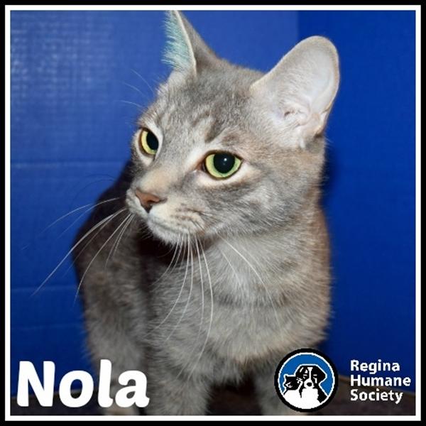 Cat for adoption - Nola, a Domestic Short Hair Mix in Regina