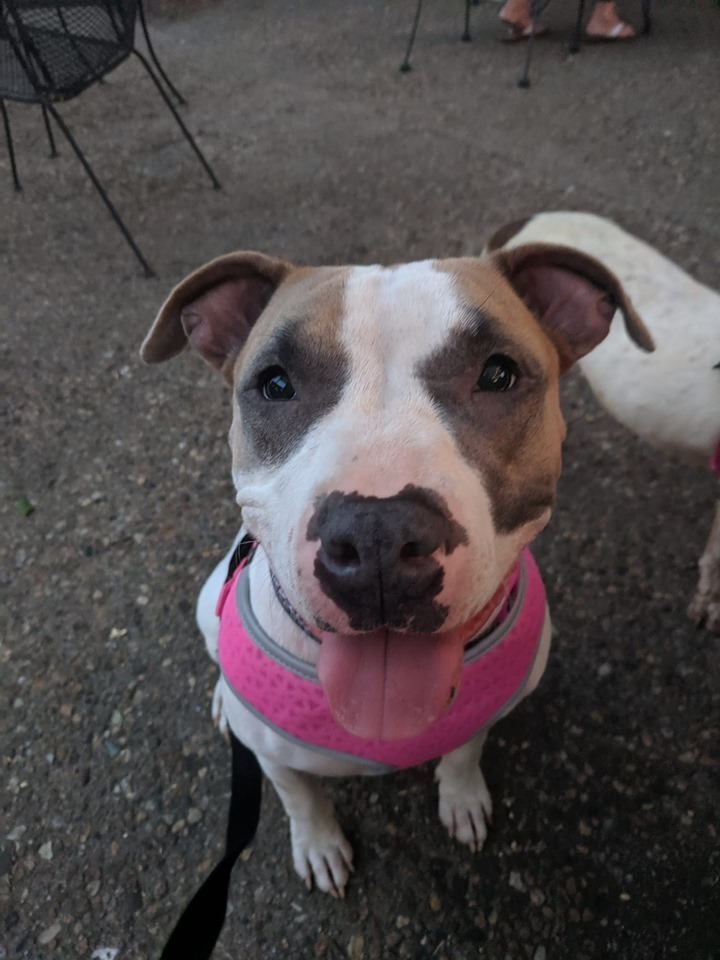 Elsie, an adoptable Pit Bull Terrier Mix in Manhattan, KS