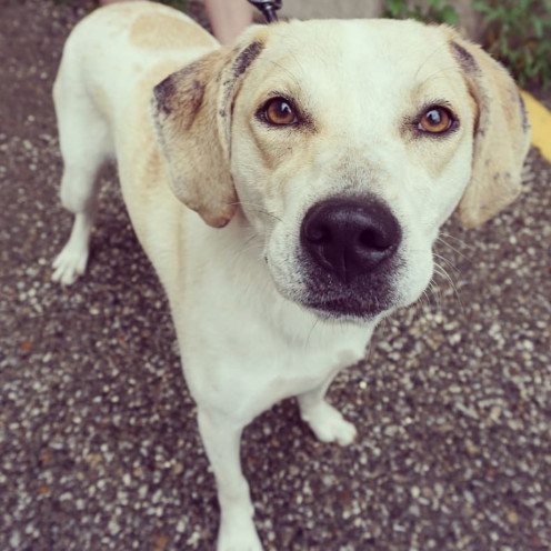 Potato, an adopted Yellow Labrador Retriever & Catahoula Leopard Dog Mix in Detroit, MI