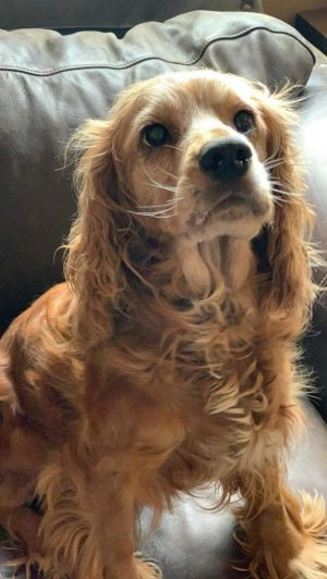 Dog for adoption - Sadie, a Cocker Spaniel in Coburg, OR