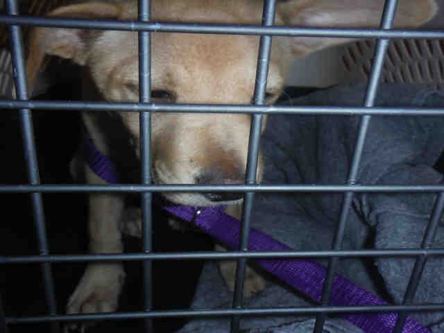 Dog for adoption - FELICIA, a Basenji & Portuguese Podengo Mix in