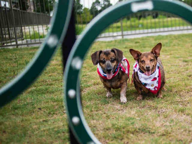 TJ, an adoptable Dachshund & Chihuahua Mix in Austin, TX