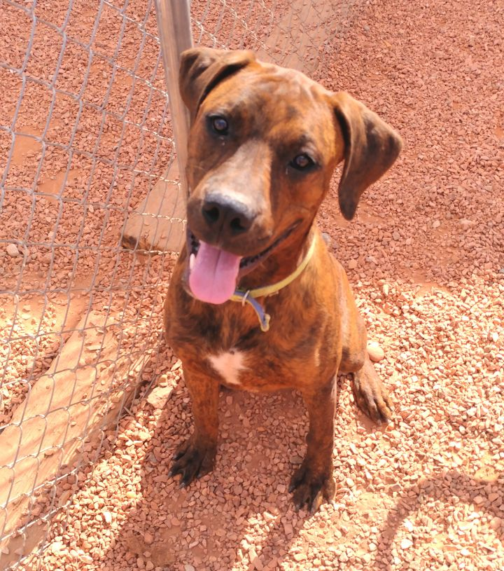 Tigger, an adopted Boxer & Rottweiler Mix in Washington, UT