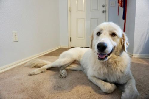 Trudy, an adoptable Great Pyrenees Mix in Winter Park, CO