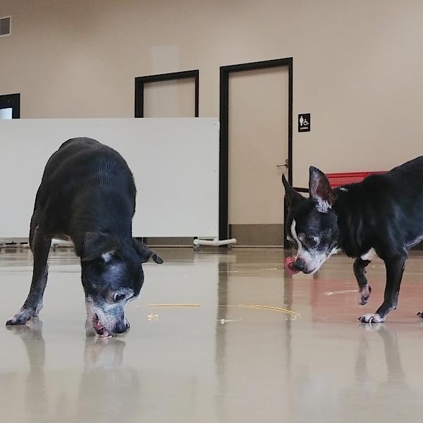 Dog for adoption - Biggie -- Bonded Buddy With Lil' Kim, a