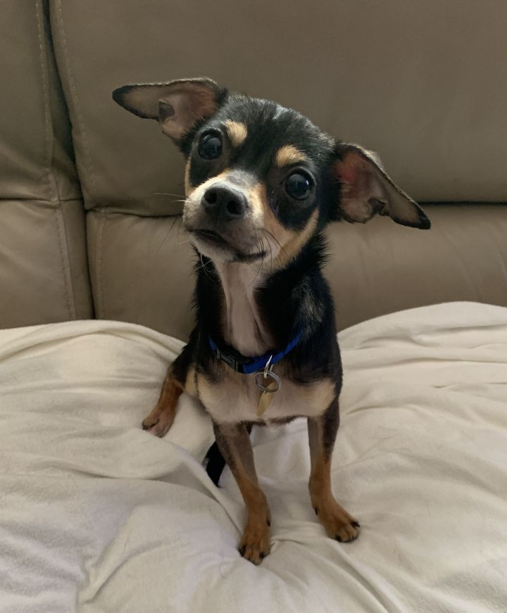 Shadow, an adopted Chihuahua Mix in San Jose, CA