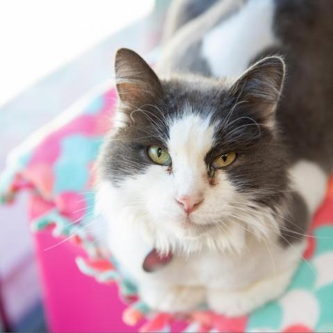 Zeppelin, an adoptable Domestic Long Hair in Salt Lake City, UT