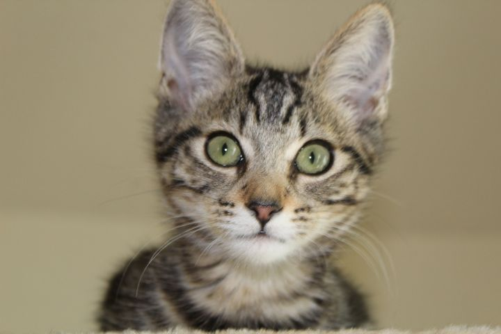 Cat for adoption - Molly, a Tabby in El Dorado Hills, CA | Petfinder