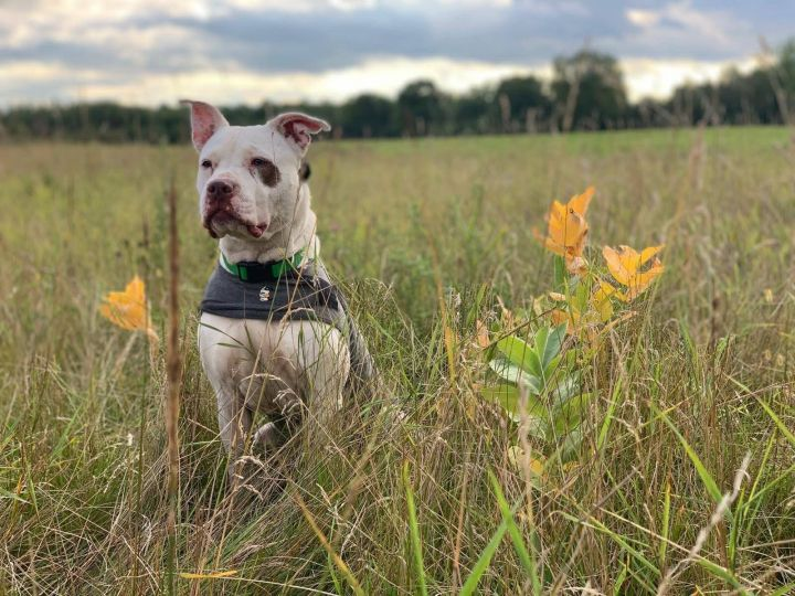 Blanco, an adopted Pit Bull Terrier & Labrador Retriever Mix in Minneapolis, MN