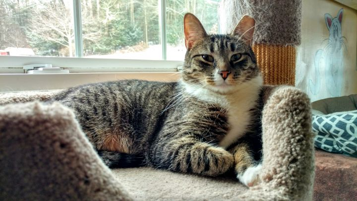 Fallow, an adoptable Domestic Short Hair in Bloomsburg, PA
