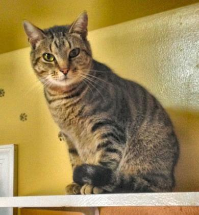 Levon, an adoptable Domestic Short Hair in Bloomsburg, PA