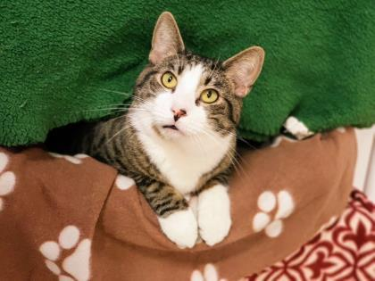 Halligan, an adoptable Domestic Short Hair in Bloomsburg, PA