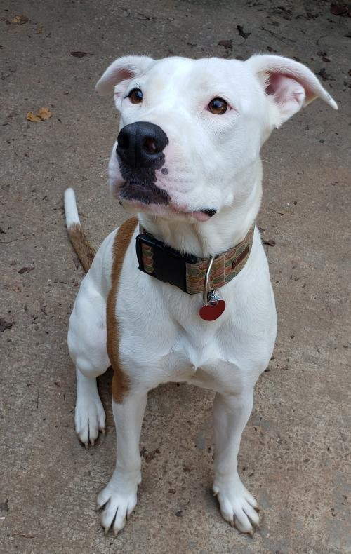 Cianna, an adoptable Hound & American Bulldog Mix in Alpharetta, GA