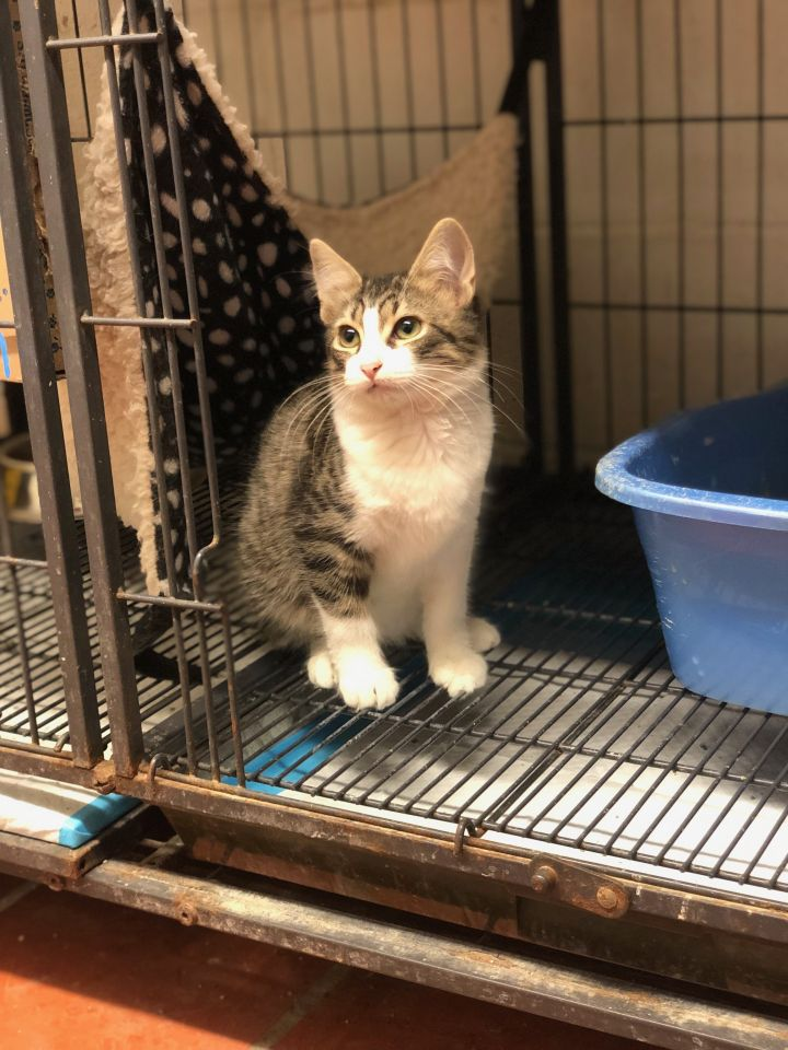 Jupiter, an adopted Tabby in Uvalde, TX