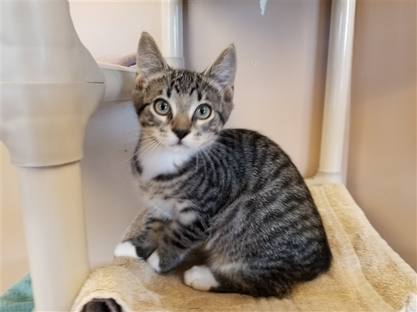 Cat for adoption - Mickey, a Domestic Short Hair Mix in